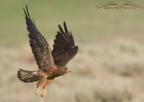 swainsons-hawk-flying-adult-6956
