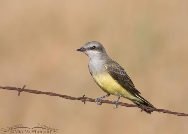 western-kingbird-immature-mia-mcpherson-0049