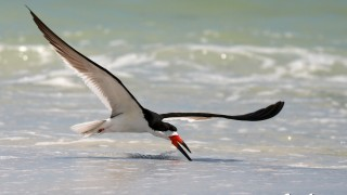 2013-06-12-BlackSkimmer1