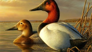 Canvasbacks painted by Adam Grimm of Burbank, S.D., winner of the 2013 Federal Duck Stamp Contest. All rights reserved by USFWS Headquarters.