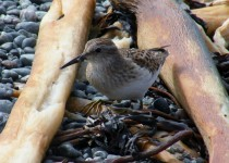 9-3-2013-close-up-sandpipers-081