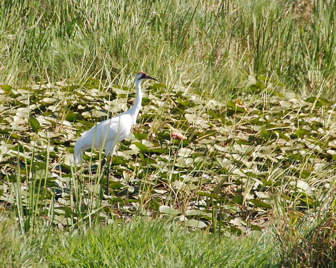 Adult-whooping-crane