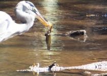 Closeup-Heron-with-FishDSCF0301