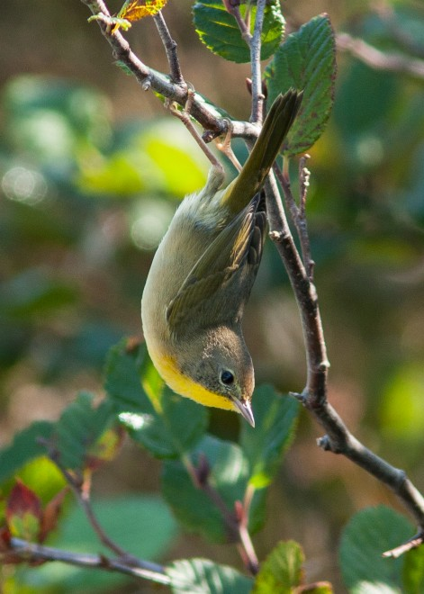 Common-Yellowthroat-Warbler-1-Bear-Cove-Road
