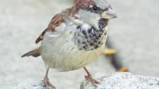 DSCF3651-house-sparrow-ab