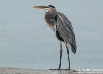 DSC_2059-Great-Blue-Heron
