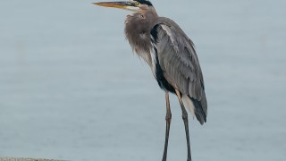 DSC_2059-Great-Blue-Heron