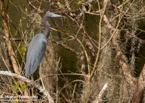 DSC_2484-Little-Blue-Heron