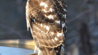 DSC_3274-Coopers-Hawk-with-copyright