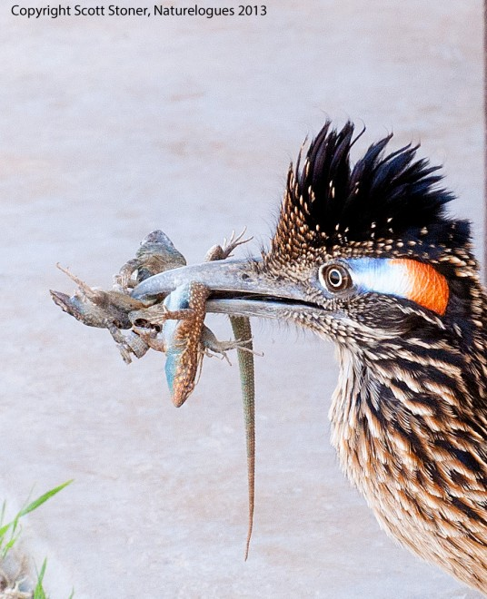 DSC_3980-roadrunner-copyright-copy