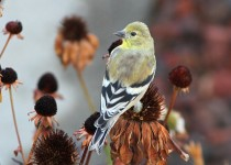 Goldfinch-American-2013-09-22-069