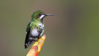 Green-thorntail-female-4941