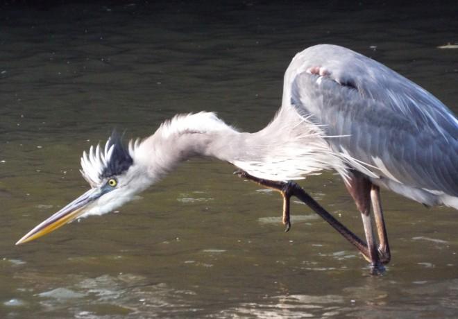 Heron-Prowl