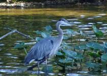Heron-Swamp2