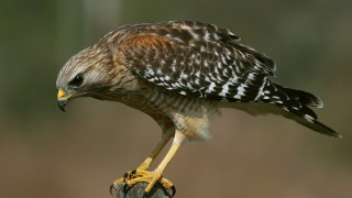 IMG_0136-Red-shouldered-Hawk-on-watch
