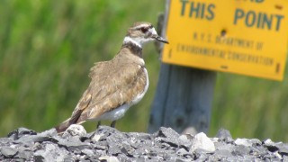Killdeer-gravel