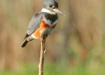Kingfisher-on-watch