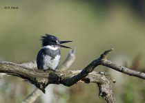 Male-Belted-Kingfisher