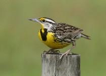 Meadowlark-on-watch