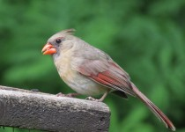 Northern-Cardinal-valley