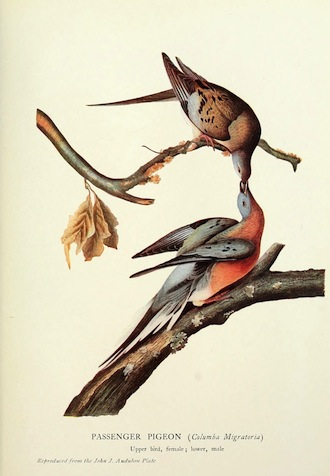 "Zoological illustration from a volume of articles, The Passenger Pigeon, 1907 (Mershon, editor). The caption reads: ""PASSENGER PIGEON (Columba Migratoria) / Upper bird, female; lower, male / Reproduced from the John J. Audubon Plate."" John James Audubon [Public domain], via Wikimedia Commons."