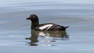 Pigeon-guillemot-8725