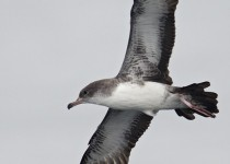 Pink-footed-Shearwater-1