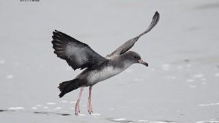 Pink-footed-Shearwater-landing