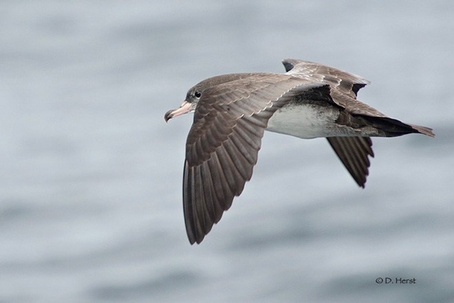 Pink-footed-Shearwater