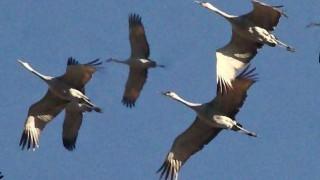 Sandhill Cranes in flight. Photo by Robert Burton (USFWS).