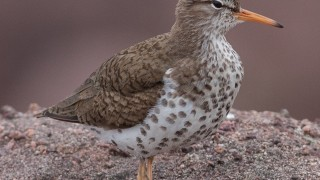 Spotted-Sandpiper-4-Cape-Spear
