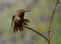 Rufous Hummingbird, Adult Male, Selasphorus rufus