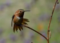 Rufous Hummingbird, Adult Male, Selasphorus rufus