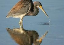 Tri-colored-Heron-Reflecting
