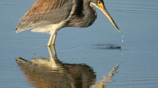 Tri-colored-Heron-Reflecting