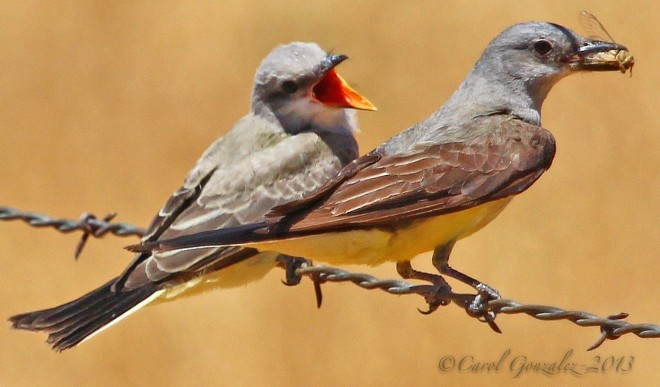 A juvenile Western Kingbird begs for food from a parent. Photo by Carol Gonzalez.
