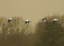 Whooping Cranes at Wheeler National Wildlife Refuge, Decatur, Alabama, January 10, 2013, by Lew Scharpf.