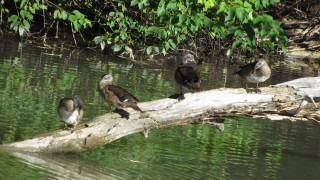 Wood-Ducks-canal