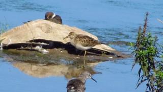 Yellowlegs+2-shorebirds