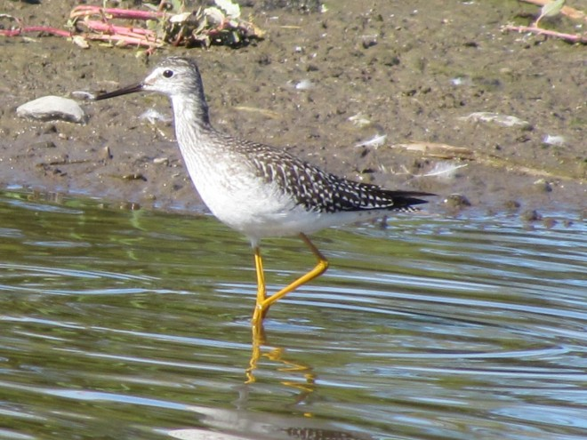 Yellowlegs-puddle-portrait