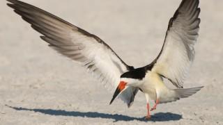 black-skimmer-adult-landing-mia-mcpherson-7811