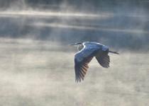 blueheronmorningflight