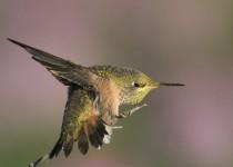 calliope-humming-bird-mia-mcpherson-1697