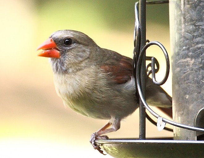 cardinal-female-31