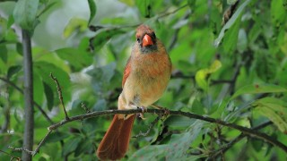 cardinal-female-4