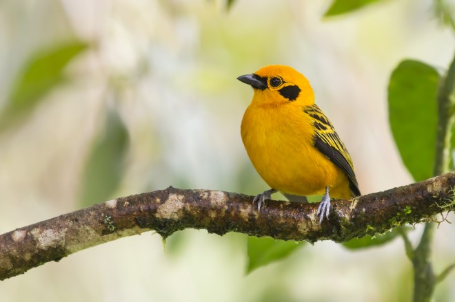 golden-tanager-5108