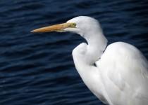 great-egret