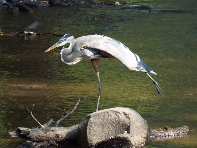 heron-pose-2
