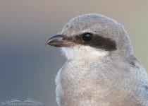 loggerhead-shrike-fledgling-close-up-mia-mcpherson-5385