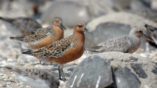 red knots fws